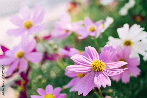 Pink Cosmos flowers in the garden with blur background