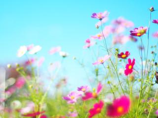 花 コスモス