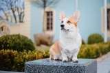 Cute Pembroke Welsh Corgi dog outdoor