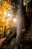 Fototapeta Fototapeta las, drzewa - Wandern im Schwarzwald © Nadine