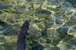 Quadro Aal Fisch im Avon River in Neuseeland