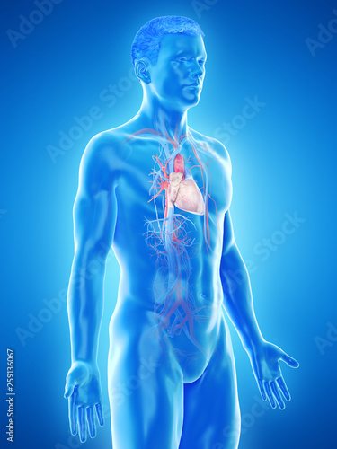 Leinwandbild Motiv 3d rendered medically accurate illustration of a mans vascular system