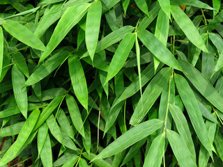 bamboo leaf tree © srckomkrit