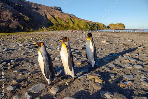 Fototapeten Pinguine Curious king penguins posing on the beach at St Andrews Bay in South Georgia