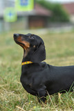 portrait of a dog dachshund black tan on grass