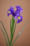 nice iris flower