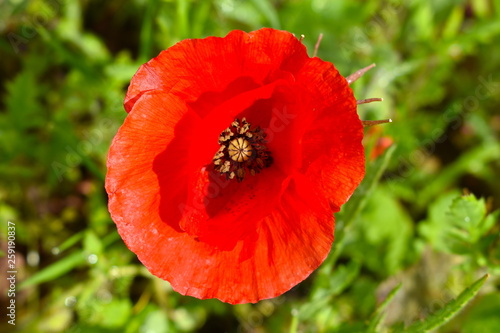 Poppy flower Isolated - 259190837