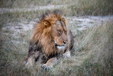 Young male lion rests and poses on the savannah