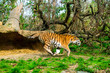 Tiger in the nature