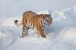 Wild siberian tiger is walking on the white snow. Panthera tigris tigris. Animals in wildlife.