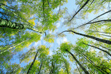 natural background bottom view of the tops of birch trees stretch towards the blue sky with green succulent fresh leaves in spring