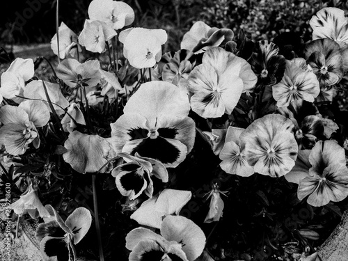 pansies in the spring in black and white © Michele