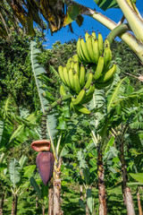 banane, fruit, vert, arbre, aliment, bouquet, tropical, plante, nature, agriculture, frais, sain, ferme, plantation, organique, brut, jaune, fruit, feuille, naturel, mûr, bananier, Guadeloupe
