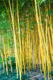 Fototapeta Bambus - Bamboo forest. Natural background © EwaStudio