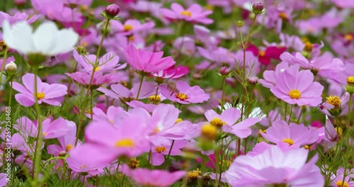 Cosmos flower in pink