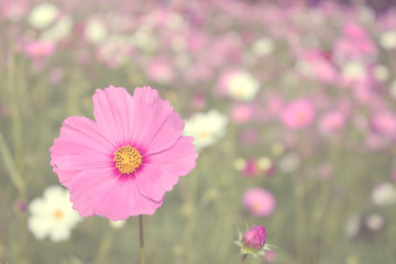 pink cosmos flower background