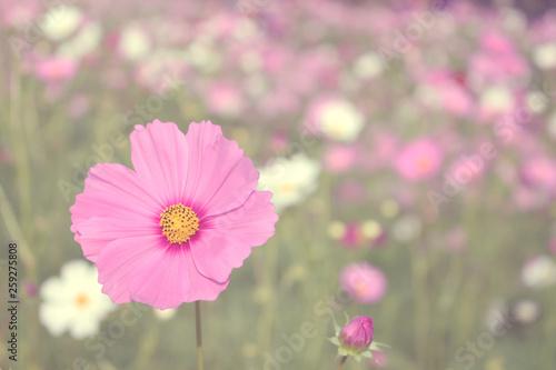 pink cosmos flower background