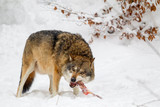 Wolf (Canis lupus) in the snow in the animal enclosure in the Bavarian Forest National Park, Bavaria, Germany.