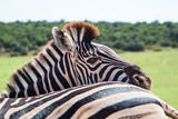 Fototapeta Sawanna - Plains Zebra (Equus quagga) animals standing close together close up of one animal looking at the camera over another animal's back. © MWolf Images