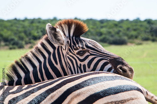 Plains Zebra (Equus quagga) animals standing close together close up of one animal looking at the camera over another animal's back. © MWolf Images