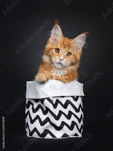 Handsome young Maine Coon cat sitting facing front in a black and white paper bag. Looking beside camera with orange brown eyes. Isolated on a black background. One paw on edge of the bag. © Nynke