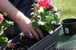 canvas print picture - Geranien pflanzen
