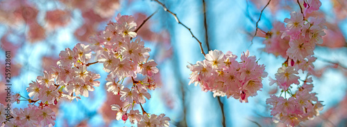 Cherry blossom - japan sakura tree close up © Vera Kuttelvaserova