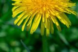 Fototapeta Fototapeta z dmuchawcami - Yellow dandelion on a background of green grass. © lms_lms
