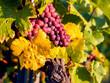 Leinwanddruck Bild - Weinlese im Herbst