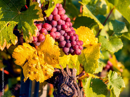 Leinwanddruck Bild Weinlese im Herbst