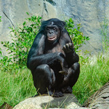 A Bonoba great ape, one of the most peaceful of the ape family