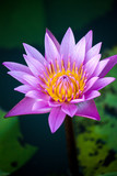 The beauty of the purple lotus in the water