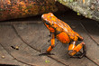 Poison dart frog, Oophaga histrionica. A small poisonous animal from the rain forest of Colombia.