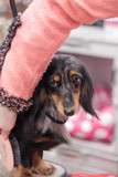 Dachshund being groomed at a dog show
