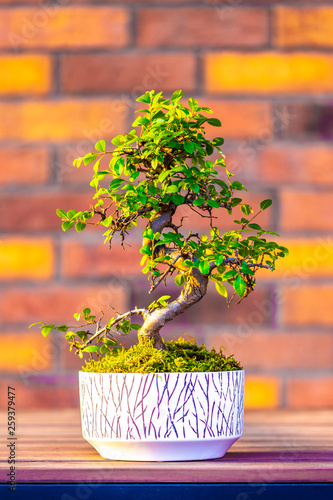 Bonsai (carpinus tree) in the white pot is placed on brown brick background. Small zen tree with green leaves and twisted trunk. Beautiful plant for home garden © Martin