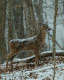 Snow falling on Whitetail deer
