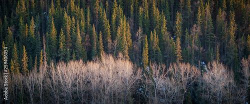 Evergreen & Deciduous Forests in the Evening Sun - 259406054