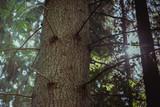 Fototapeta Forest - świerk na tle zachodzącego słońca © simonout