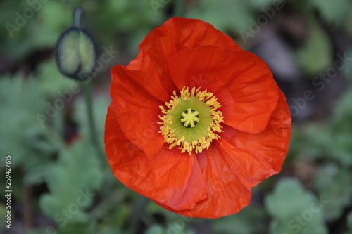 Single Orange Poppy Flower on Green Background - 259427615