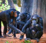 Chimpanzee live in the national park / Pan troglodytes