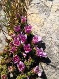 Purple mountain saxifrage, Saxifraga oppositifolia subsp. Oppositifolia