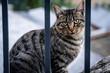 canvas print picture - Streunende, getigerte Katze hinter Zaun in Andorra