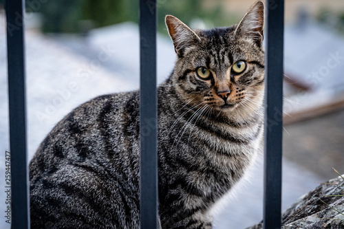 canvas print picture Streunende, getigerte Katze hinter Zaun in Andorra