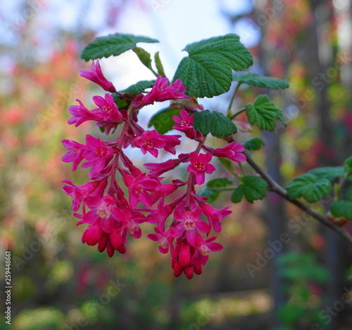 Very popular red-flowering currant branch with flowers and leaves close up.
