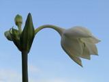 White flower opening