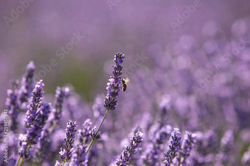 lavender and bee - 259457843
