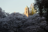Sunset in university campus during cherry blooming season