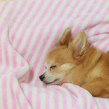 Young brown chihuahua puppy dog sleeping on soft pink blanket