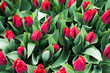 Beautiful red tulips field background in Holland - 259495099