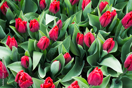 Beautiful red tulips field background in Holland